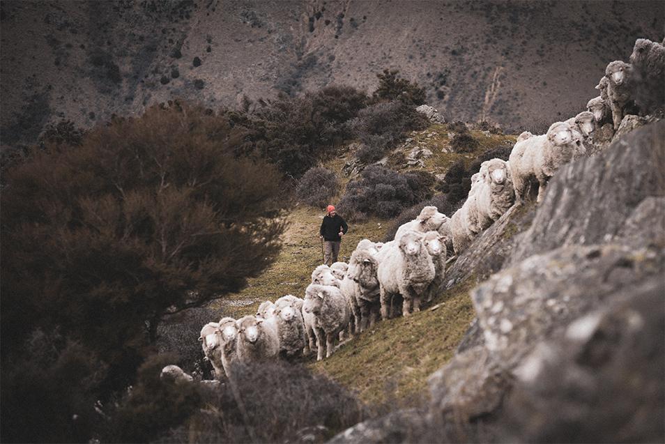 03_MR_Web_Why-Wool_Sheep-Image